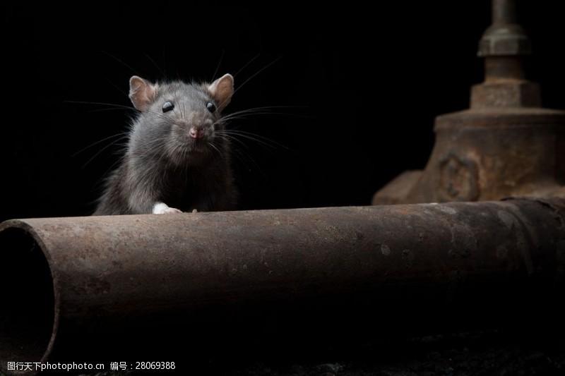 战争题材俄罗斯战争中的老鼠图片