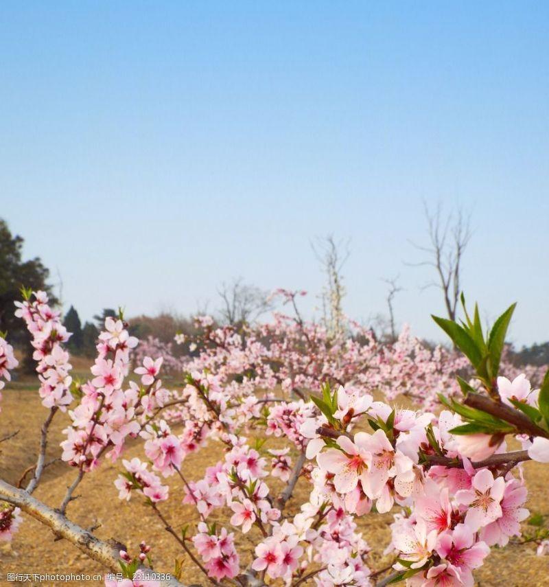 果园风光东海桃花园