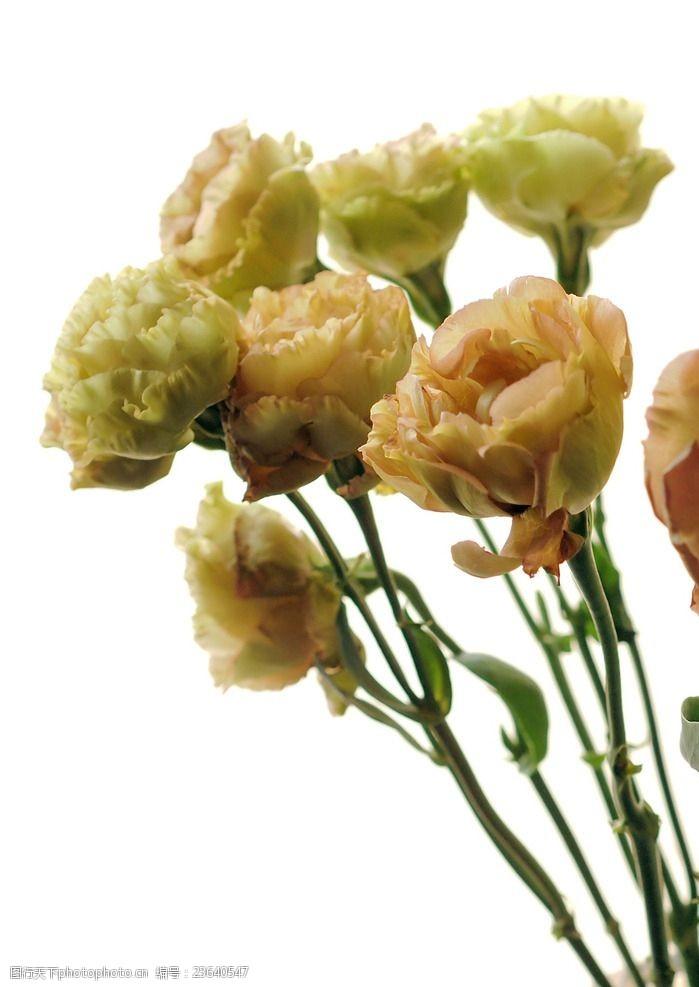 茶色花卉图片免费下载 茶色花卉素材 茶色花卉模板 图行天下素材网